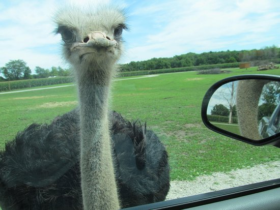 Arcola, IL: Up close and personal with an ostrich!