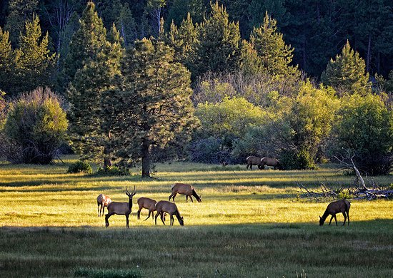 Black Butte Ranch, OR : Elk in the meadow near the Ranch