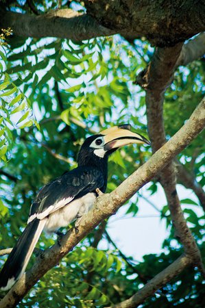 Pangkor Sandy Beach Resort: Friendly Hornbills