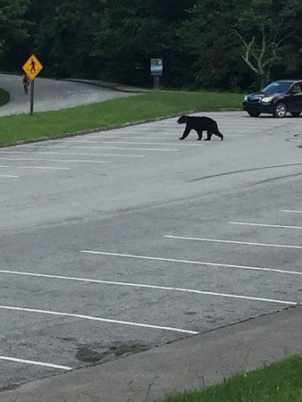 Townsend, TN: Trying to return to our car and a bear comes walking