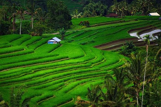 Jatiluwih rice terrace,Tabanan -Bali  - Picture of Bali By