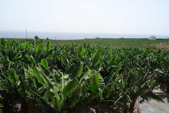 Museo del Plátano de Tazacorte: Plataneras