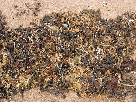 Pictou, Canadá: Colourful dried seaweed.