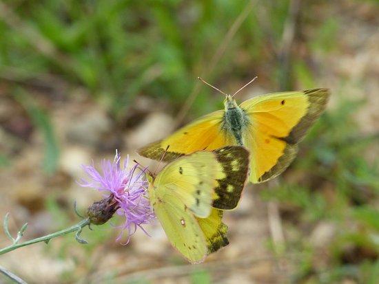 Massanutten Mountain: Butterflies seen on a ski slope