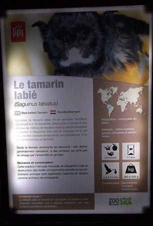 Zoo De Lille Carte Visite Du Tamarin Labi
