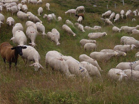 Lozere, Frankrike: Rencontre avec les troupeaux de moutons sur les pentes du Mont Lozére