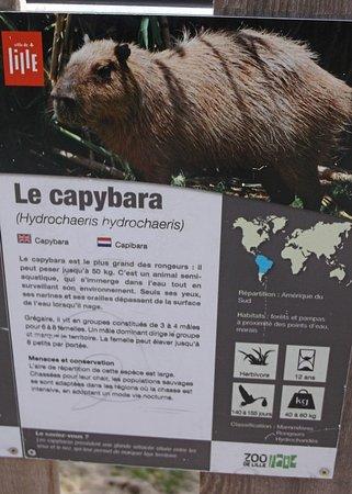 Lille Zoo Carte De Visite Du Capybara