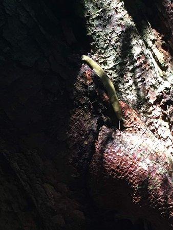 Cape Lookout State Park: Banana slug.