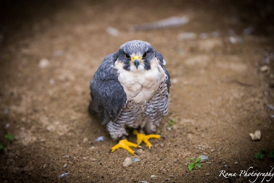 Randalstown, UK: Falcon