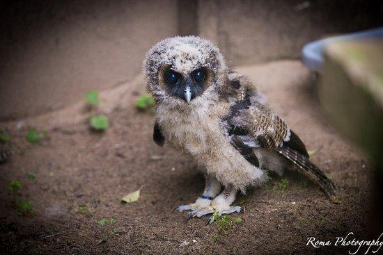 Randalstown, UK: Baby Owl