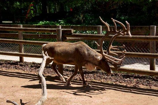 Le Jardin des bêtes : un renne avec bois impressionant