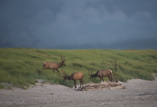 elk feeding on gearhart beach