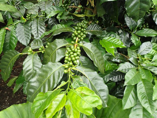 Kona Mountain Coffee Vistor Center: Coffee plant.