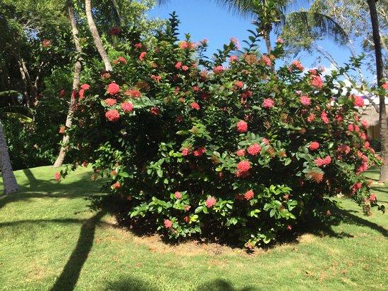 IBEROSTAR Paraiso Del Mar: Très bel hibiscus