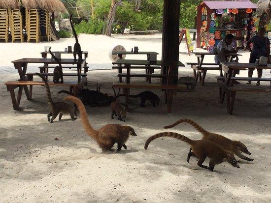 IBEROSTAR Paraiso Del Mar: Les coatis se promènent partout sur le site.