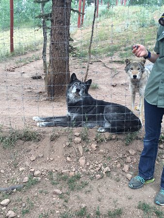 Divide, CO: wolf