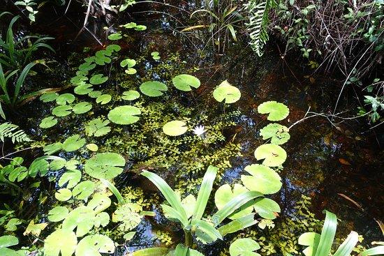 Everglades City Boardwalk & Airboat Tours: Watterliliey