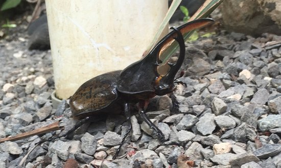 "Casa Batsu: Beautiful rhinoceros beetle we found on the path in the garden - 6"" long!"