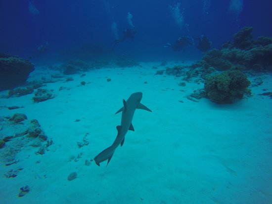 Cocos Dive Day Trips: One of a million baby reef sharks