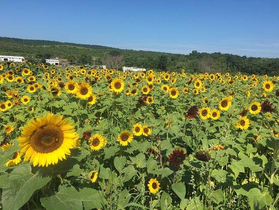 Middlefield, CT: Beautiful Sunflowers!