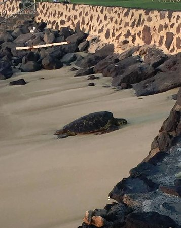 Hale Kai Oceanfront Condominiums: Sea turtle taking a snooz on the beach adjoining Hale Kai