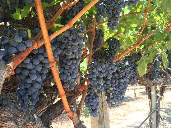 Salvestrin Winery: photo1.jpg
