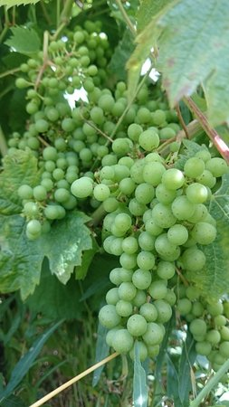 Domaine de l'Enchantoir : les raisins