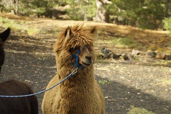 Alpaca Friera