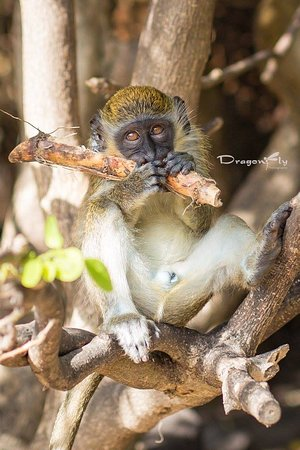 Сент-Китс и Невис: The Green Vervet Monkey are said to outnumber the people on St. Kitts