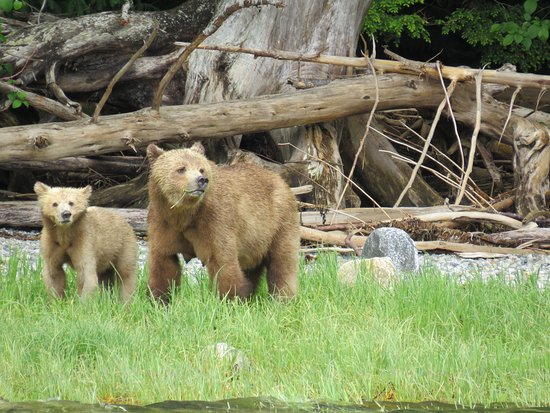 Telegraph Cove Resort: grizzly beren tijdens tocht naar Knight Inlet
