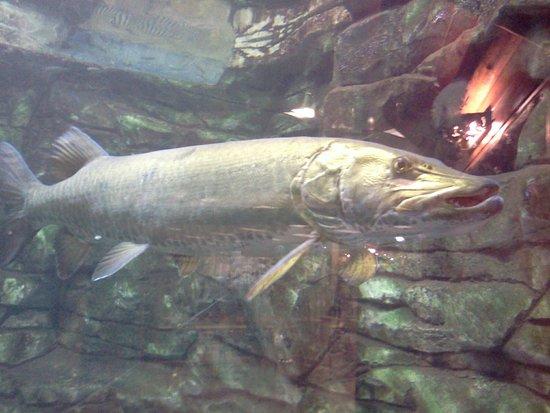 Hamburg, PA: Fish tank at Cabela's