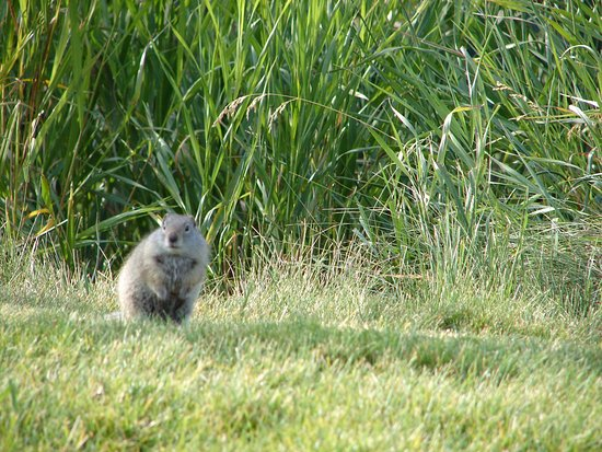 Wilderness Edge: Friendly neighbor ground squirrel.