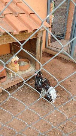 Recanto dos Animais Henrique Pedroni: galinhas