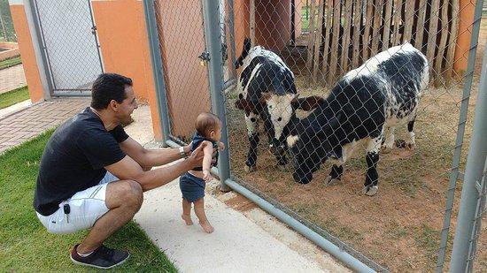 Recanto dos Animais Henrique Pedroni: mini bois