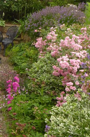 Bramley House: David Austen roses, penstemons and Munstead Lavender!