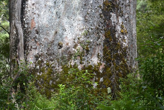 Опонони, Новая Зеландия: century old bark