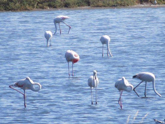 Kalloni Salt Pans: flamingos