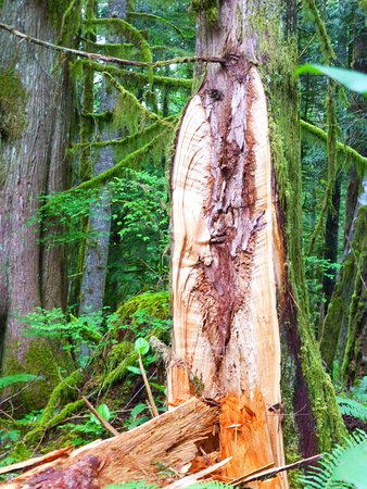 Welches, OR: super kool tree