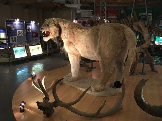 Музей мамонта: Я думала, что мамонты были гигантскими исполинами, как динозавры. Оказывается, только 3-4 метра