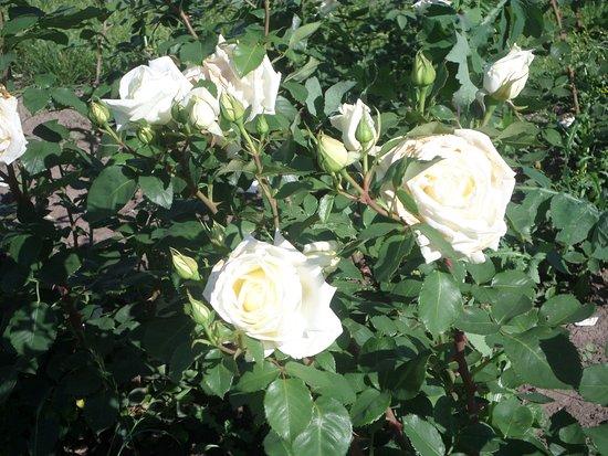 Alexandria Dendrological Park: Белые розы.