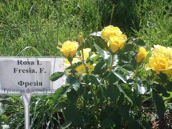 Alexandria Dendrological Park: Желтые розы.