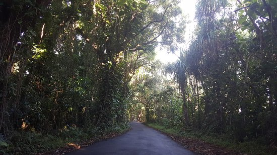 Pahoa, Hawaï: Banyan trees lining the road in !