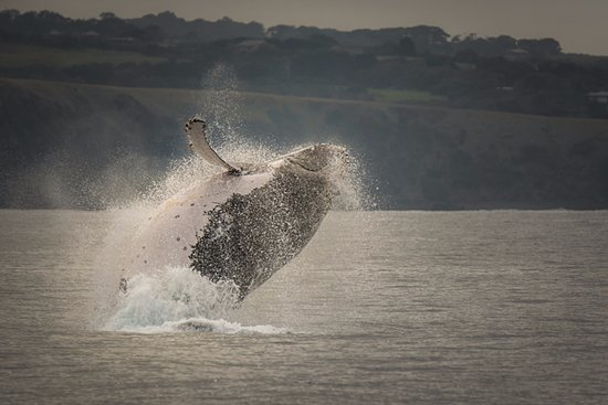 Cowes, Αυστραλία: Spectacular breach by Humpback Whale
