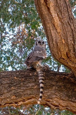 [Image: owl-caught-a-civet-at.jpg]