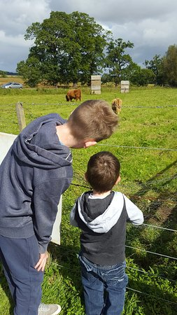 Robertson's The Larder Tomich Farm Shop and Childrens Farm: Highland Cows & feeding the goats