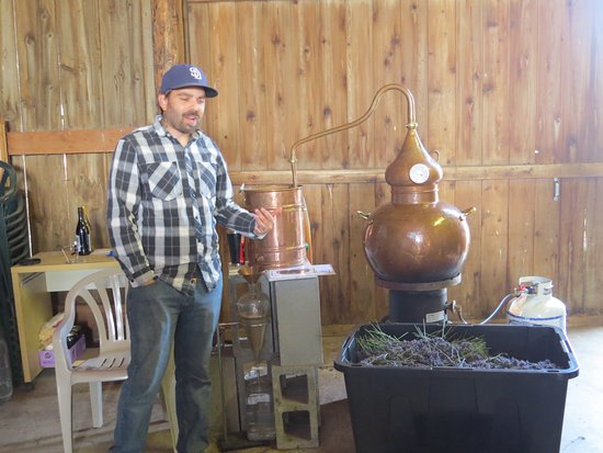 Sequim, WA: One of the owners showing the process of getting lavender oil.