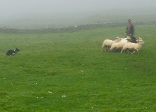 Dingle Sheepdogs Demonstrations & Trials: Sheepdog trials