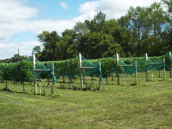 Hutchinson, MN: vineyard