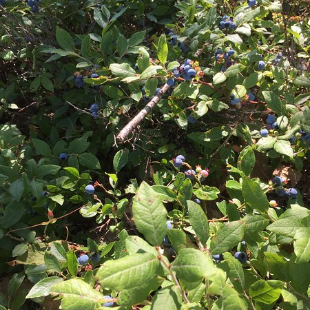 Bar Harbor Campground: Blueberries right outside my site.