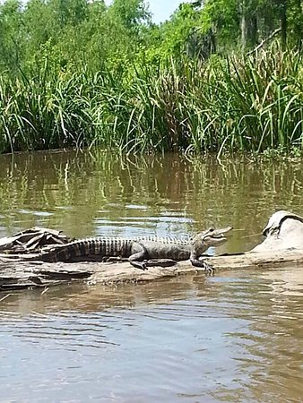 Natchitoches, LA: if we are lucky, ALLIGATORS
